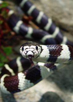 California King Snake. I had a pet one when I was 10, I named her Hatshepsut after the first female Pharaoh.