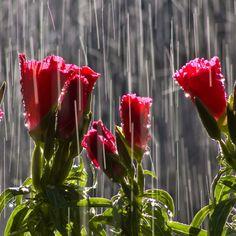 Flowers in the rain wallpaper nature wallpaper red flowers in the rain altavistaventures Gallery