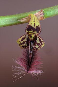 Dancing Bulbophyllum (Bulbophyllum saltatorium)