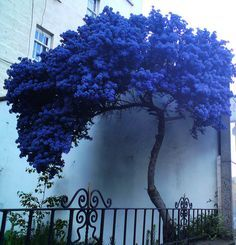 A strange lonely blue tree: Walking down Leithwalk I met this strange tree had no leaves only blue flowers - by klio1961 via Flickr