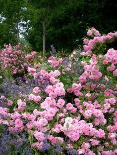 John Davis.    Без укрытия выдерживает до -29?С. Можно использовать в качестве невысокой плетистой розы. Очень зимостоек. (GRCC)  Классифицируется как шраб, но может использоваться и как плетистая роза. Впечатляюще смотрится в полном цвету. (RRC)