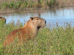 Wild capybara