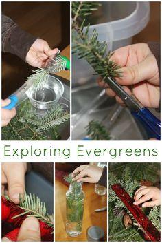 Evergreen Science preschool exploring evergreens