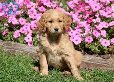 Hugo | Goldendoodle - Miniature Puppy For Sale | Keystone Puppies Goldendoodle Miniature, Miniature Puppies, Goldendoodle Puppy For Sale, Design Development, Puppies For Sale, Miniatures, Dogs, Animals, Animales