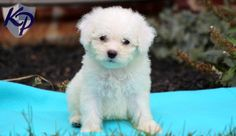 Keystone Puppies has a puppy finder feature setting you up to find and buy a dog perfect for your home. Bichon Puppies For Sale, Puppy Finder, All Breeds Of Dogs, Buy A Dog, Pet Dogs, Pets, Bichon Frise, Puppy Love, Labrador Retriever