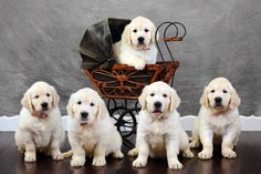 7 Week Old Puppies (English Golden Retrievers) Retriever Puppy, Dogs Golden Retriever, Puppy Pictures, Funny Animal Pictures, Puppy Pics, Schnauzer, Cute Puppies, Dogs And Puppies, Pyrenees Puppies