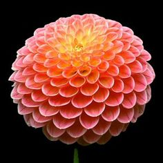 Beautiful Mia Li Dahlias ( plant tubers March/ April)