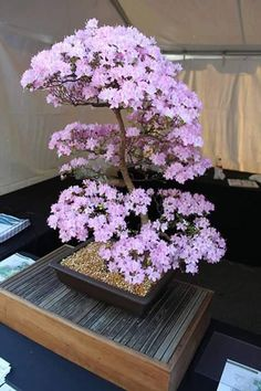 Bonsai flower plants are the miniature trees that are grown in containers as a form of Japanese art. Bonsai trees give much pleasant look to interiors. Ikebana, Bonsai Azalea, Bonsai Plante, Bloom, Miniature Trees, Bonsai Garden, Bonsai Trees, Bonsai Flowers, Ornamental Plants