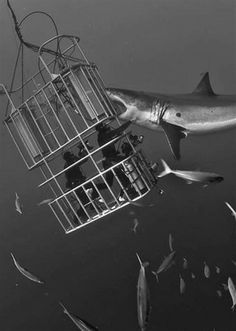 You go in the cage, cage goes in the water, shark's in the water, our shark...