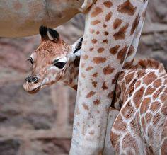 Baby Rothschild Giraffe at the Chester Zoo.