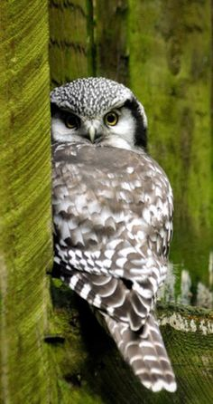Amazing wildlife - Grey Owl photo #owls