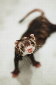 always thought ferrets were the one animal i could maybe never love. i was wrong.