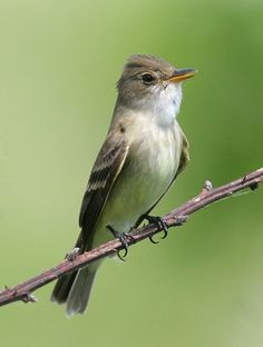 Bill Hubick Photography - Willow Flycatcher (Empidonax traillii)