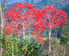 A corticeira (Erythrina crista - galli L.), el ceibo também chamada eritrina-crista-de-galo, bico-de-papagaio, sapatinho-de-judeu, suinã, flor-de-coral, mulungu e sananduva, é uma árvore da família das leguminosas (Fabaceae), nativa do sul do Brasil, Argentina, Uruguai e Paraguai, podendo atingir de 10 metros de altura. A flor da corticeira é a flor nacional da Argentina e Uruguai.