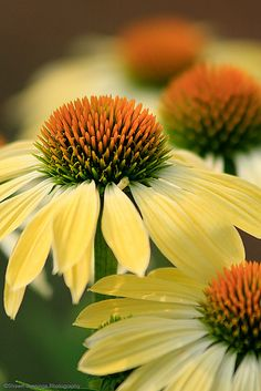 "Yellow echinacea  ""Think mass planting! Buy 10 at a time and plant them all together. Weeds won't grow. There will be no room!"""