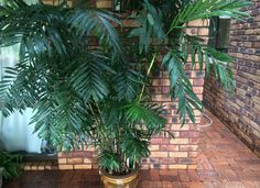 12 Houseplants That Clean The Air And Are Almost Impossible To Kill Bamboo Palm or Reed Plam Inside Plants, Cool Plants, Airplane Plant, Tiny White Flowers, Spider Plants, Bedroom Plants, Flowering Shrubs, Snake Plant, Tropical Plants