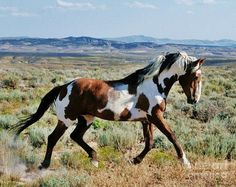 "Wild pinto stallion ""Picasso"" from Sand Wash Basin. Photo credit: Plusten Photography"