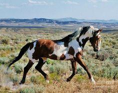Wild Pinto Stallion... Photo credit: Plusten Photography