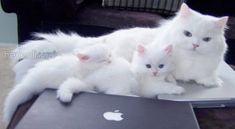 Father Teacup Persian Cat with his kittens