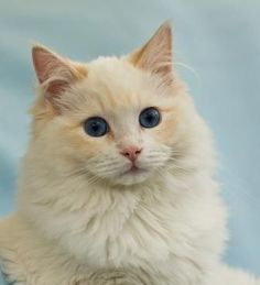 cream ragdoll cat -