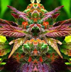 Carefully selected mothers and 'fathers' are used to create our cannabis genetics. We use the most stable, viable and potent plants to produce our cannabis seeds. Medical Cannabis, Cannabis Oil, Cannabis Edibles, Thc Oil, Ganja, Cbd Oil For Sale, Marijuana Plants, Weed Plants, Medical Marijuana