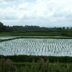 Bali - Rice fields recently planted.  The rainy season crop was just harvested, and now they are planting rice for the dry season.