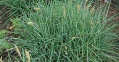 Carex flacca 'Blue Zinger'