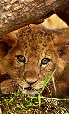 magicalnaturetour:  Lion Cub II by *jay-peg