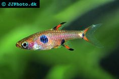Spotted Dwarf Rasbora - just adding these to my tank!