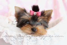 Beautiful Yorkie Puppy in Soft Comfy Bed!