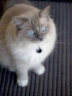 Ragdoll Cat by tanisha