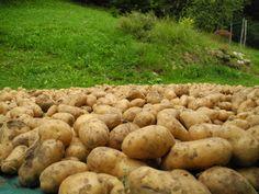 Un mare di patate