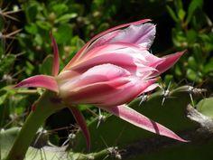 Flor de mandacaru desabrochando numa manhã em Arembepe-Bahia-Brasil