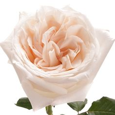 Premium Scented garden Rose White O'hara The scented garden rose White O'Hara is very fragrant and often used for weddings and special events. It is hardy to ship and its vase life is extraordinary. A perfect white garden rose! Types Of Flowers, Fresh Flowers, Amazing Flowers, Beautiful Roses, O Hara Rose, Floral Wedding, Wedding Flowers, Wedding Colors, Wedding Bouquets