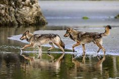 HI — BC's Sea Wolves.