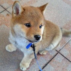 shiba inu puppy - like a little fox! Awww I remember when our Shiba, Cami was this small! Cute Puppies, Cute Dogs, Dogs And Puppies, Doggies, Chien Shiba Inu, Baby Animals, Cute Animals, Japon Tokyo, Sweet Dogs