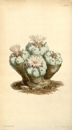 Curtis's Botanical Magazine. Lophophora Williamsii (Peyote). 1847.