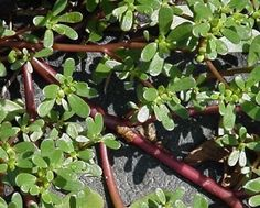 Purslane (yes, you might know it as a weed - I know otherwise...) Salmon Salad