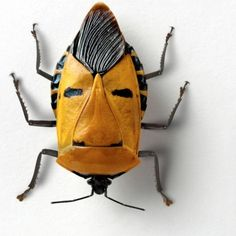 Coleoptera Beetle