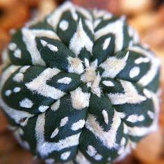 "Astrophytum asterias cv ""Super Kabuto V"" #succulentssimplified"