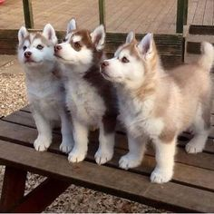 Cute puppies baby puppies, cute husky puppies, siberian husky p Cute Husky Puppies, Siberian Husky Puppies, Husky Puppy, Funny Puppies, Siberian Huskies, Huskies Puppies, Baby Huskies, Husky Pomeranian Mix, Red Siberian Husky