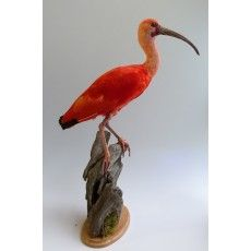 red ibis. Nice colourful item for in your interior. www.demuseumwinkel.. Opgezette dieren.