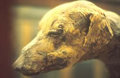 Mummy of a dog    'Man's best friend' was considered not just as a family pet, but was also used for hunting, or for guard duty, from the earliest periods of Egyptian history.    Pet dogs were well looked after, given names such as 'Blackey' or 'Brave One', and often provided with elaborate leather collars.    This is the mummy of a dog who was probably a royal pet; it was found in a royal tomb in the Valley of the Kings.