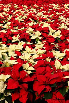 Infinite field of poinsettias in a greenhouse