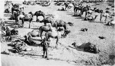 Camel lines of the Imperial Camel Corps at El Arish.