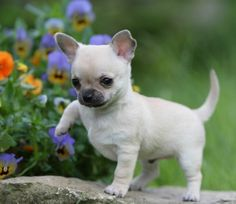 beliebte hunderassen chihuahua welpe