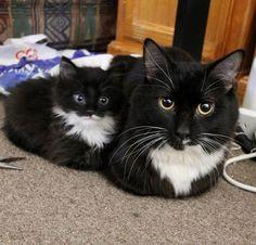 mini me cat loaf sitting