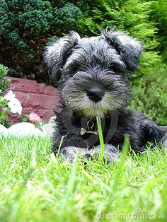 Aww what a super adorable little mini schnauzer puppy