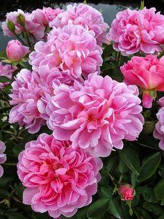 Captivating Why Rose Gardening Is So Addictive Ideas. Stupefying Why Rose Gardening Is So Addictive Ideas. Flowers Nature, My Flower, Pretty Flowers, Nature Tree, Pink Roses, Pink Flowers, David Austin Rosen, Rose Foto, Garden Art
