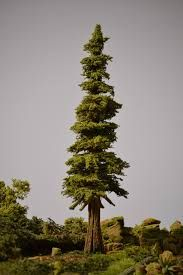 Image result for conifer trees Conifer Trees, Cedar Trees, Unique Plants, Plant Species, Landscape Art, Nature, Tropical, Backyard, Christmas Tree